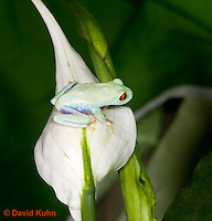 0306-0923  Red-eyed Tree Froglet (Young Frog) on White Flower, Agalychnis callidryas  © David Kuhn/Dwight Kuhn Photography.
