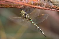 339360026 a wild andromorph female blue-eyed darner dragonfly rhionaeschna multicolorperches on a tree limb in lake havasu national wildlife refuge arizona