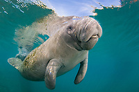 Florida Manatee, Trichechus manatus latirostris, A subspecies of the West Indian Manatee. Crystal Riverl, Florida.