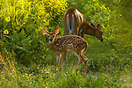 White-tailed doe and her fawn in northern Wisconsin.