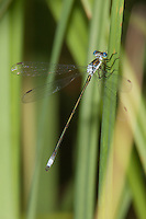Swamp Spreadwing (Lestes vigilax) Damselfly - Male, Promised Land State Park, Greentown, Pike County, Pennsylvania