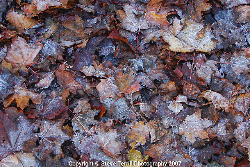 Frost on maple leaves in Multnomah County, Orgon