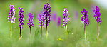 Meadow of Early Purple Orchids (Orchis mascula). Cressbrook Dale, Peak District, Derbyshire, UK (Digitally Stitched Image).