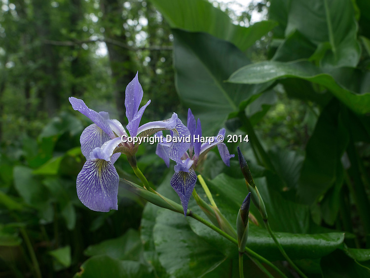 Wild iris mix with other aquatic plants along the banks of Kings Creek