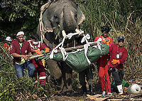 When the tsunami struck Thai search and rescue teams used elephants  to find and recover bodies, enabling teams  to reach areas no vehicle could go. © Fredrik Naumann
