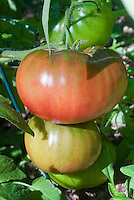 Tomato Black Krim ripening stages of vegetable from green color to pink to reddish with dark shoulders, fresh on plant growing