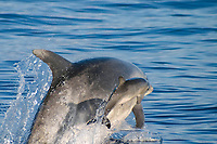 bottlenose dolphins, Tursiops truncatus, calf leaps beside mother, Azores Islands, Portugal, North Atlantic