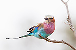 Lilac-breasted Roller (Coracias caudatus), Kruger National Park, South Africa