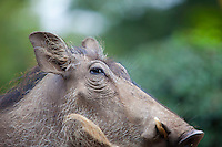 Warthog (Phacochoerus africanus) in a friend's garden.  Langata, a suburb of Nairobi, Kenya.  Locals knew there were lions on the prowl when these warthogs started disappearing from their gardens!