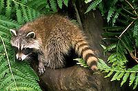 MA25-222z  Raccoon - young raccoon exploring - Procyon lotor