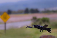 A Great-tailed Grackle, in flight, with a soft focus caution sign in the background at a regional park in the midst of urban bustle along San Francisco Bay.