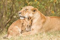 Lion (Panthera leo), adult female with cub, nuzzling, Massai Mara, Serengeti, Rift Valley province, Kenya, Africa