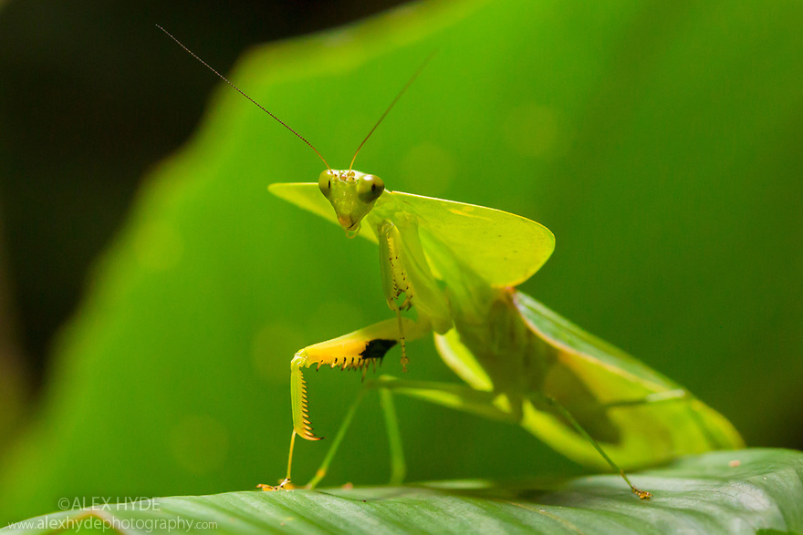 Leaf-mimicking Mantis  (Choeradodis rhombicollis), Osa Peninsula, Costa Rica. Corcovado National Park, Osa Peninsula, Costa Rica, May.