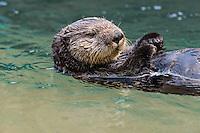 Sea Otter (Enhydra lutris) floating on back.