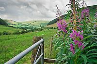 Willowherb (Epilobium), Wales.