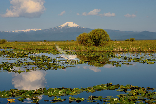Wocus (Native American name for Rocky Mountain Pond Lilies/Yellow Pond Lilies) in Klamath Marsh National Wildlife Refuge, Mount Scott, Oregon.