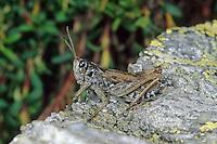 Alpen-Keulenschrecke, Männchen, Alpenkeulenschrecke, Aeropedellus variegatus, Gomphocerus variegatus, male, Gomphocère des moraines