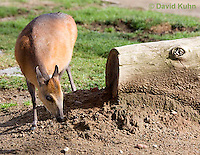 0601-1105  Red-flanked Duiker, Cephalophus rufilatus  © David Kuhn/Dwight Kuhn Photography