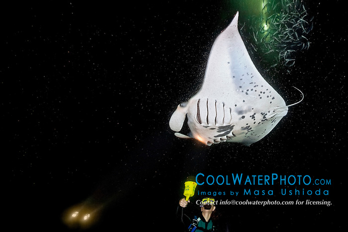 woman scuba diver and reef manta ray or coastal manta, Manta alfredi, feeding frenziedly on planktons which are attracted to and gather around diver's flashlight at night, Kona Coast, Big Island, Hawaii, USA, Pacific Ocean