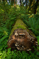 Cut Fallen Log on Sam's River Loop Trail, Upper Queets Valley, Olympic National Park, Washington, US