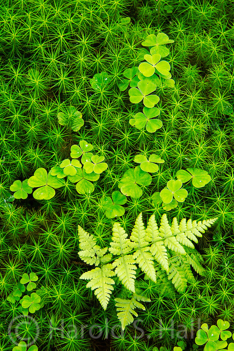 Moss and fern thrive on the floor of the Gougan Berra Forrest in southwest part of Ireland.