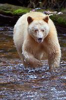 "Kermode ""Spirit"" Bear walking though a river"