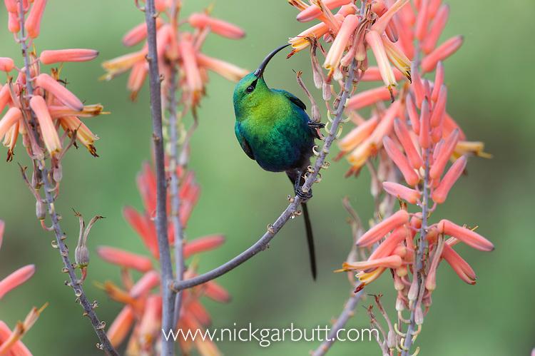 Male Malachite Sunbird (Nectarinia famosa) feeding on Aloe flower. Ndutu area, Ngorongoro Conservation Area NCA / Serengeti National Park.