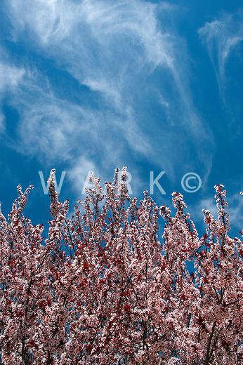 Spring tree with pink blossoms and a wispy blue sky