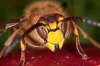Hornisse, Portrait, auf Fallobst, Apfel, Vespa crabro, hornet, brown hornet, European hornet