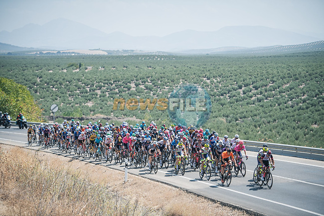 The peloton during Stage 12 of La Vuelta d'Espana 2021, running 175km from Jaén to Córdoba, Spain. 26th August 2021. <br /> Picture: Unipublic/Charly Lopez   Cyclefile<br /> <br /> All photos usage must carry mandatory copyright credit (© Cyclefile   Charly Lopez/Unipublic)
