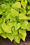 IPOMOEA BATATAS 'SWEET CAROLINE SWEETHEART LIGHT GREEN', ORNAMENTAL SWEET POTATO VINE