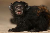 Saguinus ursulus.<br /> Pequeno mico é criado por moradores da região da alça viária a beira da estrada.<br /> Alça Viária, próximo ao Moju.<br /> Pará, Brasil.<br /> Foto Paulo Santos<br /> 06/10/2010