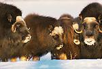 Muskox, Arctic National WIldlife Refuge, Alaska