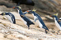 Northern Rockhopper Penguin