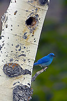 The Mountain Bluebird (Sialia currucoides) is a medium-sized bird weighing about 1.1 ounces. The Mountain Bluebird is migratory. Their range varies from Mexico in the winter to as far north as Alaska, throughout the western U.S. and Canada. Northern birds migrate to the southern parts of the range; southern birds are often permanent residents. Some birds may move to lower elevations in winter. They inhabit open rangelands, meadows, generally at elevations above 5,000 feet. Contrary to popular belief, Mountain bluebirds are not a species of concern in the United States. The turn around in Mountain bluebird numbers is due to the overwhelming efforts of landowners in the West to provide nest boxes for these birds. At one time, Mountain bluebird numbers were threatened because of increased competition for decreasing natural cavity nesting spots by invasive species such as House Sparrows and European Starling.<br /> Frog Rock, Yellowstone.