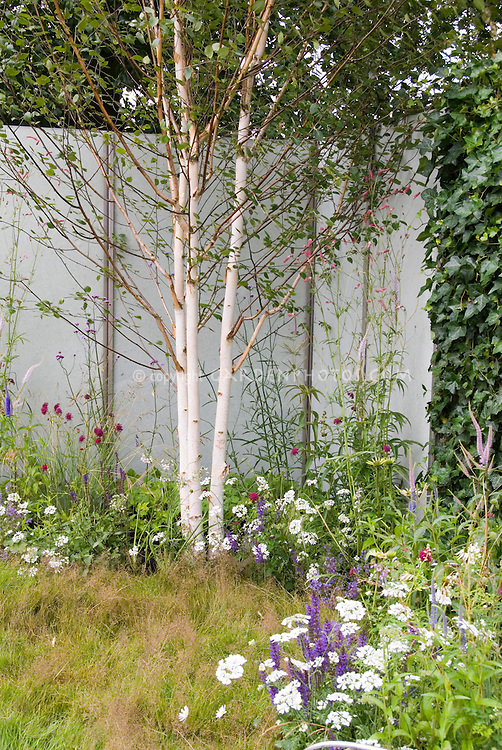 Birch trees in late spring garden with flowers, Betula utilis, white tree bark