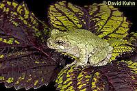 "0916-07pp  Gray Tree Frog - Hyla versicolor ""Virginia"" © David Kuhn/Dwight Kuhn Photography"