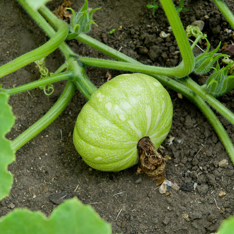Winter squash 'Squashkin', early August. The squashes are still green and some way off being ready to harvest.