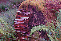 Shelf Fungi / Fungus growing on Decomposing Log in a Pacific West Coast Rainforest, BC, British Columbia, Canada
