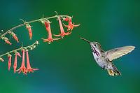 Calliope Hummingbird (Stellula calliope), male feeding on flower, New Mexico, USA