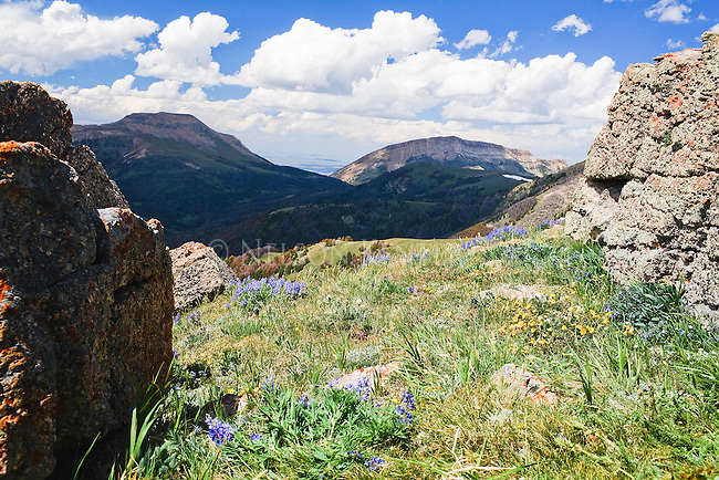 Alpine wildflowers in the Snowcrest Mountains in Montana