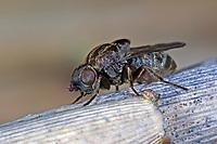Schilfgallenfliege, Schilfgallen-Fliege, Schilffliege, Halmfliege, Lipara lucens, frit fly, grass fly, Halmfliegen, Chloropidae, frit flies, grass flies