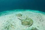Prehistoric horseshoe crabs (Tachypleus gigas) in the sandy bottom.