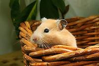 Syrian Hamster or Golden Hamster, Mesocricetus auratus.....Copyright..John Eveson, Dinkling Green Farm, Whitewell, Clitheroe, Lancashire. BB7 3BN.01995 61280. 07973 482705.j.r.eveson@btinternet.com.www.johneveson.com