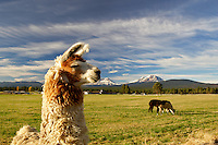 Llamas on farm with Three Sisters Mountains. Oregon