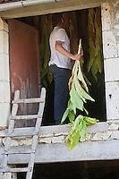 Europe/France/Midi-Pyrénées/46/Lot/ Julien Dale trie le tabac dans son séchoir