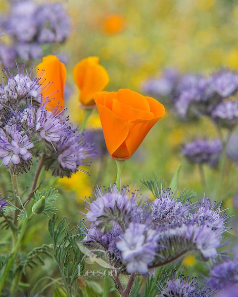 California Poppy (Eschscholzia californica) growing among Lacy Phacelia (Phacelia tanacetifolia) blooms.  Southern California.  March.