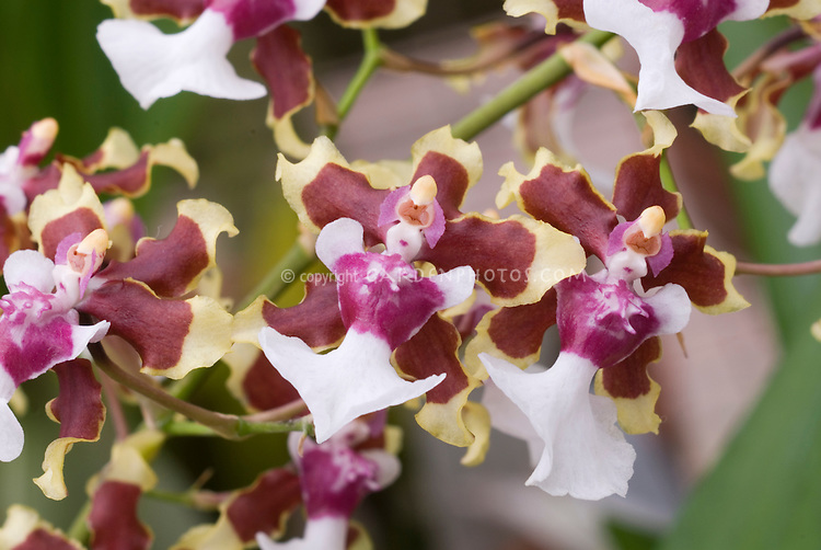 Yellow, red and white flowers of Oncidium Sharry Baby 'Tricolor', fragrant orchids, scented of chocolate