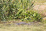 Damon, Texas; a large, adult American Alligator resting in the shallow water along the bank of the slough, warming itself in morning sunlight