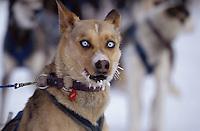 Close up of Charlie Boulding's Dog at Tanana